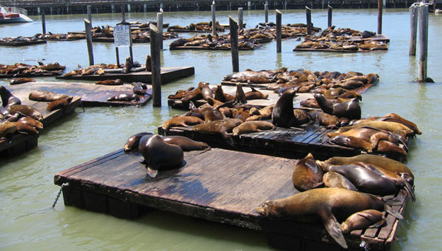 Seal at Pier 39 San Francisco