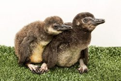 Penguin Chicks at Aquarium of the Pacific