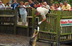worker feeding alligator at alligator farm outdoors in st augustine