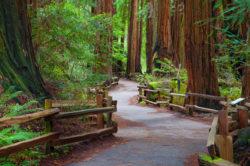 pathway between tall trees in muir woods california