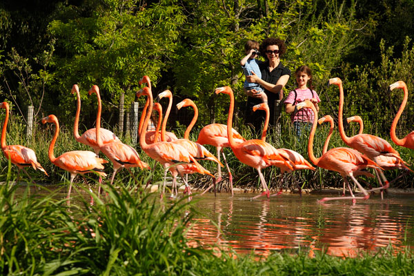 Family Watching Flamingos At Nashville Zoo