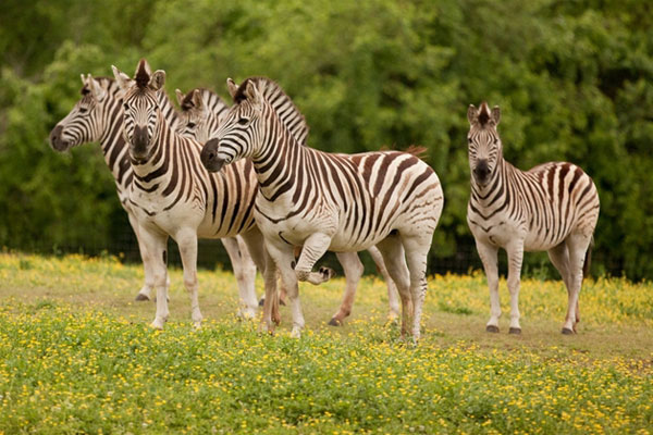 Nashville Zoo Zebras